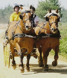 Pair of Comtois heavy horses pulling a carriage